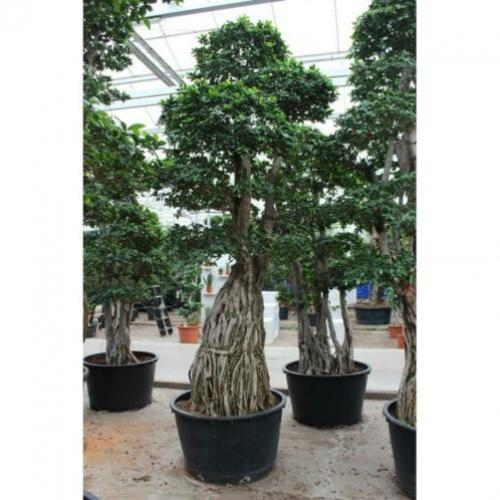 Ficus Microcarpa 'ginseng' - Bonsai 365-375cm art30987